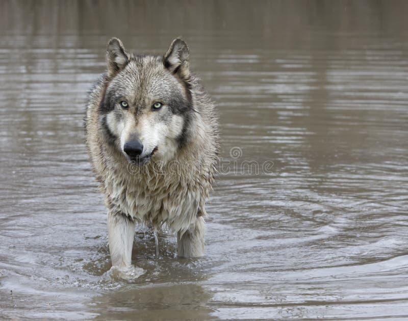 Gray Wolf con los ojos verdes que se colocan en un lago imagen de archivo libre de regalías