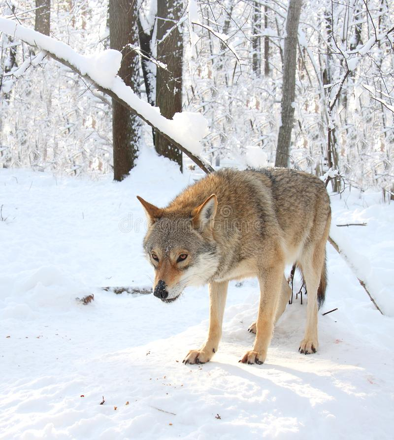 Wolf in the winter wood. The gray wolf costs in the winter snow-covered wood royalty free stock images