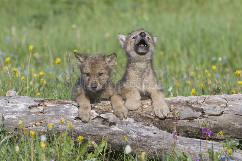 Gray wolf cubs. Wolf cubs photographed near their den in Montana stock photos