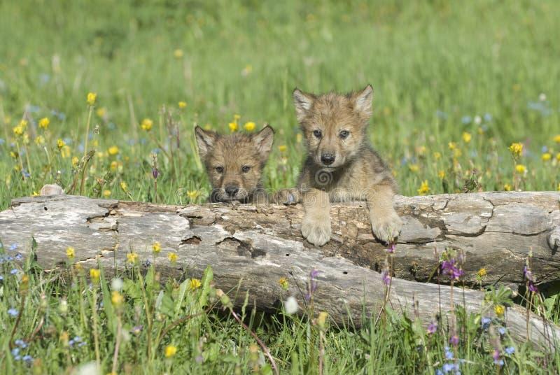Gray wolf cubs stock photos