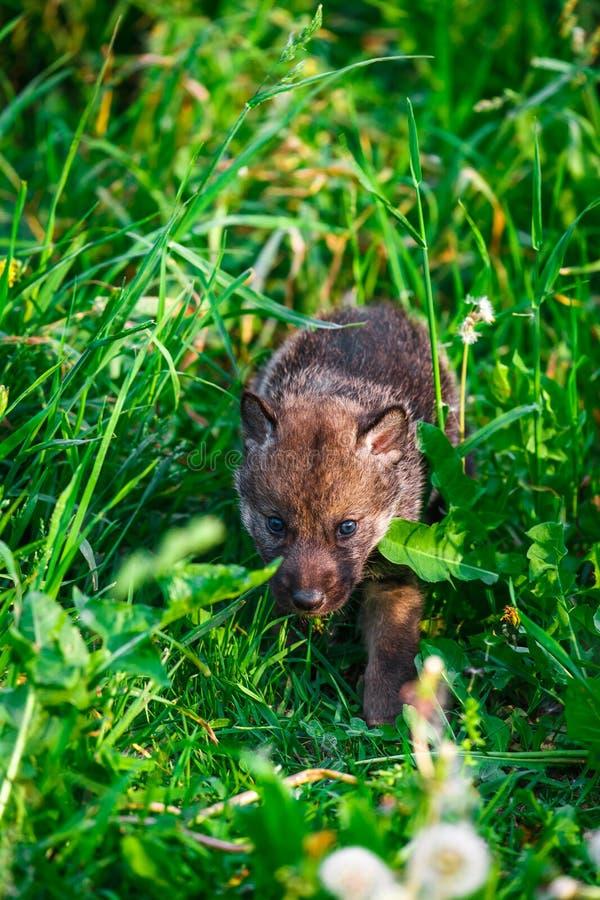 Gray Wolf Cubs en una hierba fotografía de archivo libre de regalías