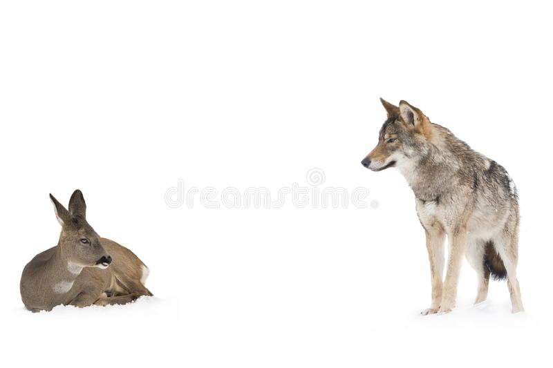 Gray wolf and deer stock photos