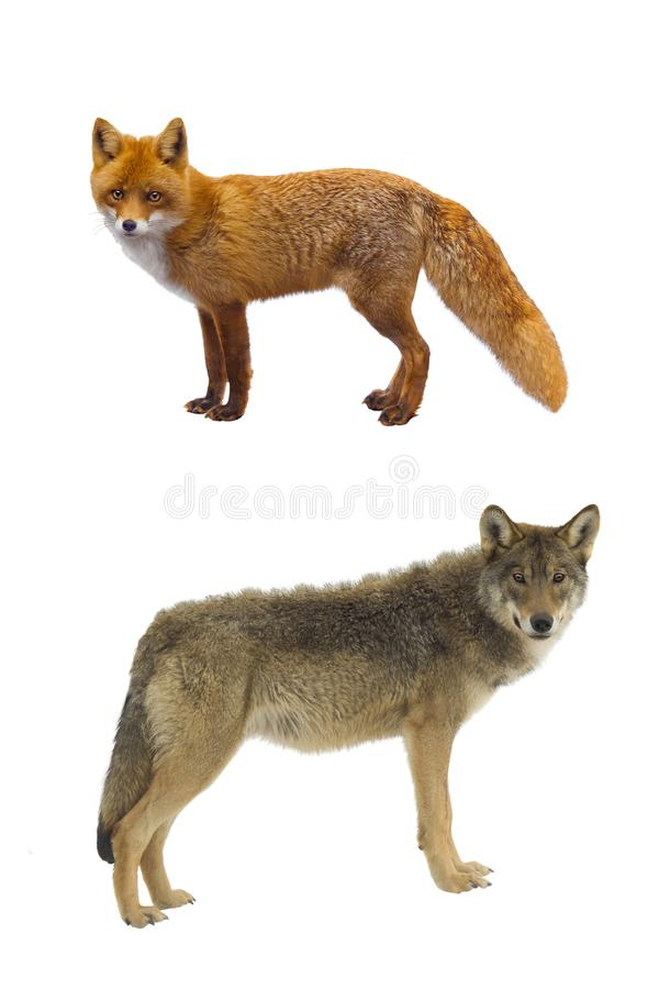 Gray wolf and fox stock image