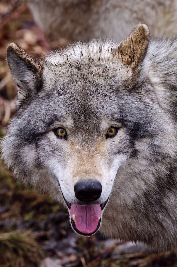 Free Gray Wolf Head Shot Stock Photo - 127632740