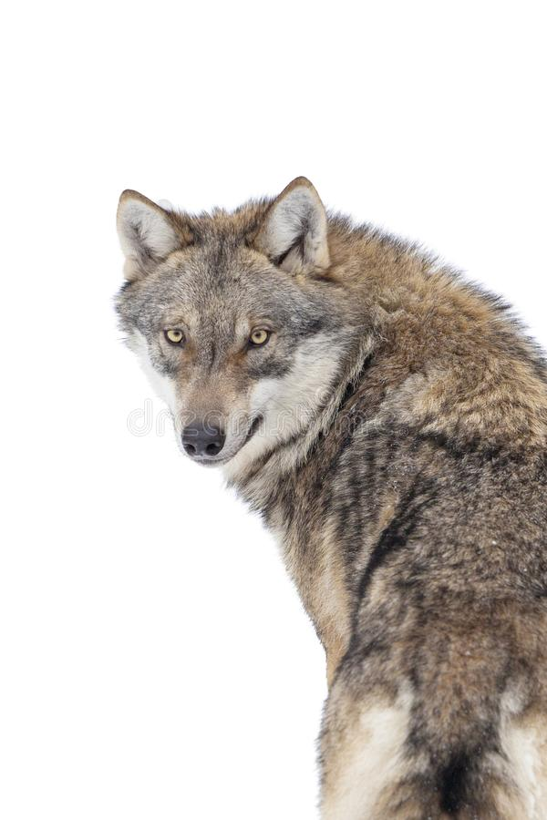 Gray wolf isolated royalty free stock photos