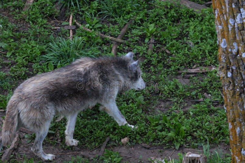Gray Wolf op een bergsleep stock foto's