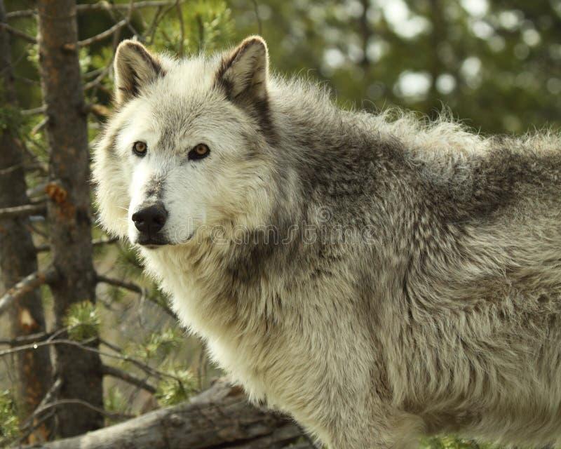 Gray Wolf Pausing imagen de archivo libre de regalías
