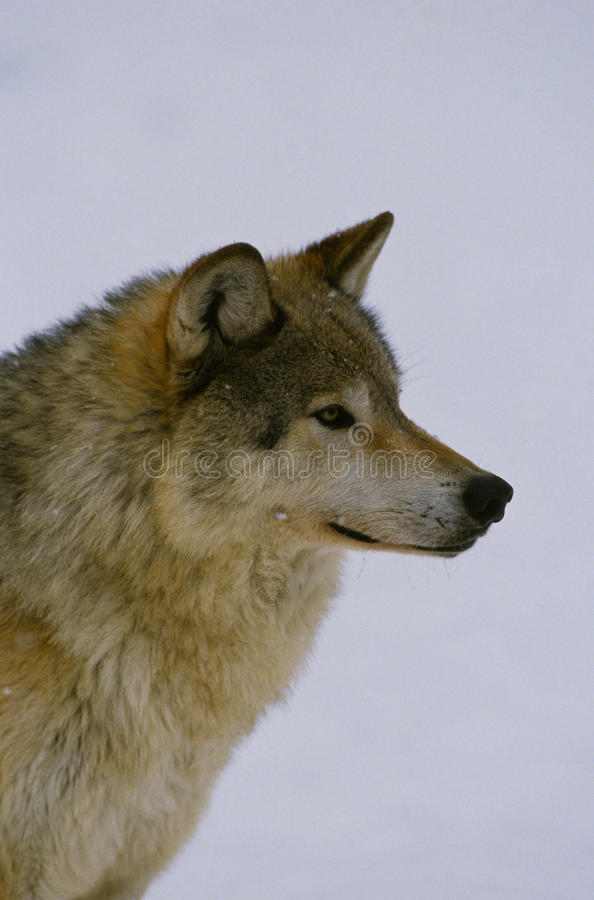 Gray Wolf Portrait Royalty Free Stock Photos