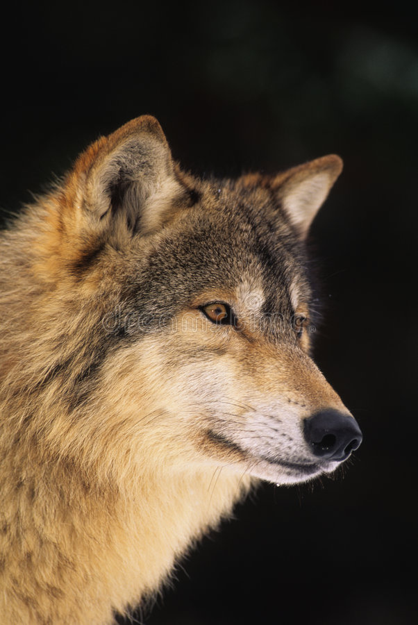 Download Gray Wolf Portrait stock image. Image of ears, wolf, predator - 9314591