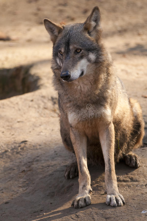 Free Gray Wolf Sitting Royalty Free Stock Images - 29643249