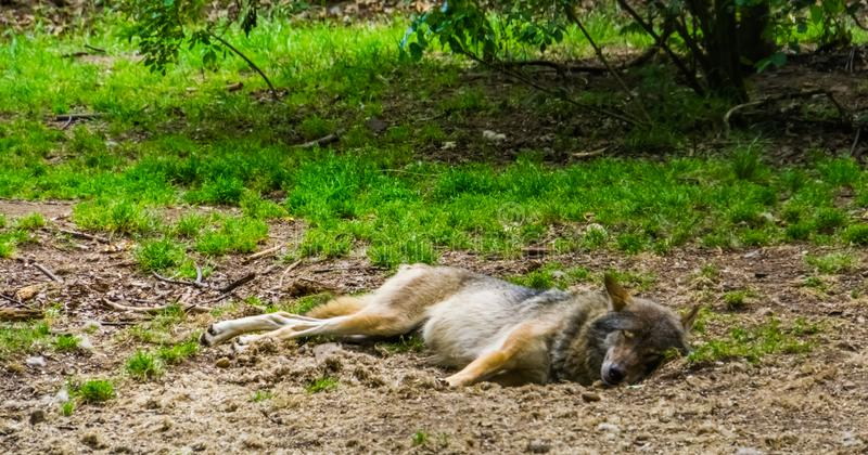 Gray wolf sleeping on the ground of a forest, common carnivorous mammal from Eurasia. A Gray wolf sleeping on the ground of a forest, common carnivorous mammal royalty free stock photography