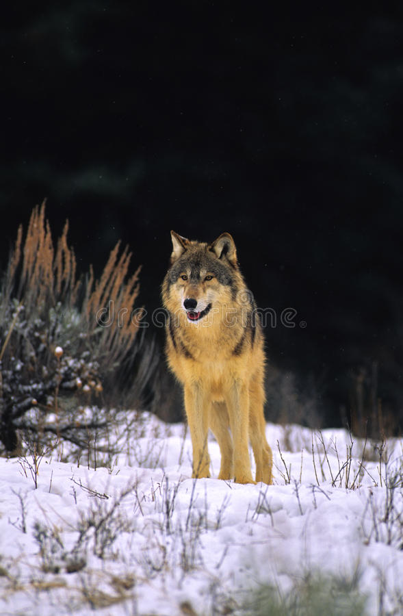 Download Gray Wolf in Snow stock image. Image of animal, canine - 10102141