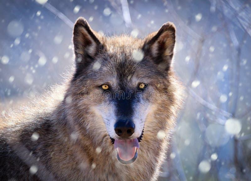 Gray Wolf - stående i snö arkivbild