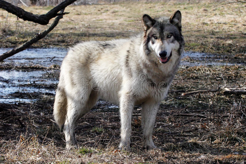 Gray wolf on a swamp royalty free stock photo
