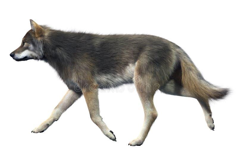 Gray Wolf Walking immagini stock libere da diritti