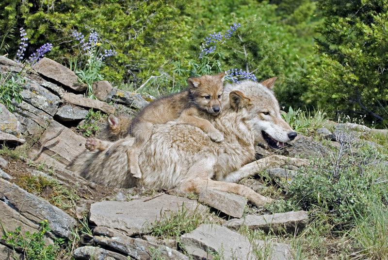 Gray wolves stock photos