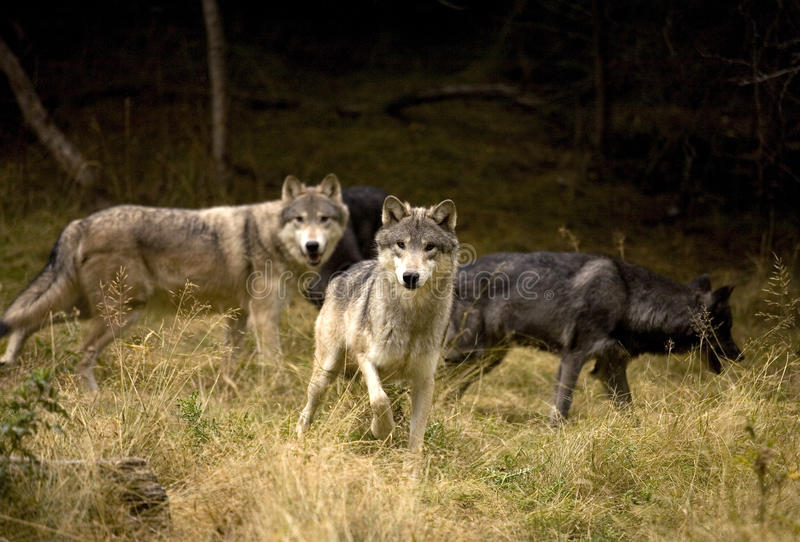 Gray Wolves curieux photos stock