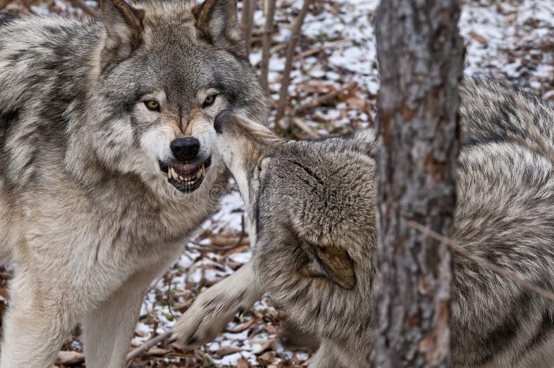 Gray Wolves Displaying Aggression fra un'alfa e un subalterno fotografie stock libere da diritti