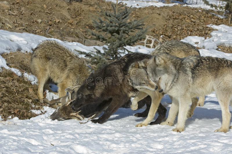 Download Gray wolves on kill stock image. Image of pack, snow, animal - 5584011