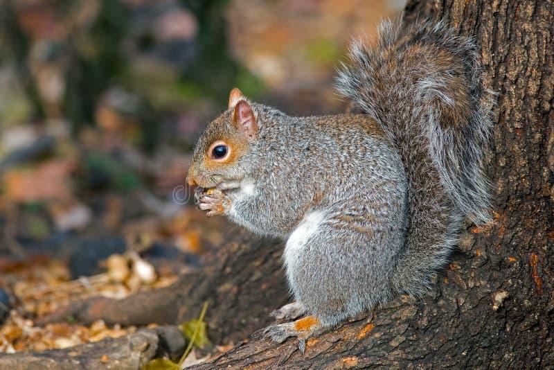 gray wschodnich wiewiórka obrazy stock