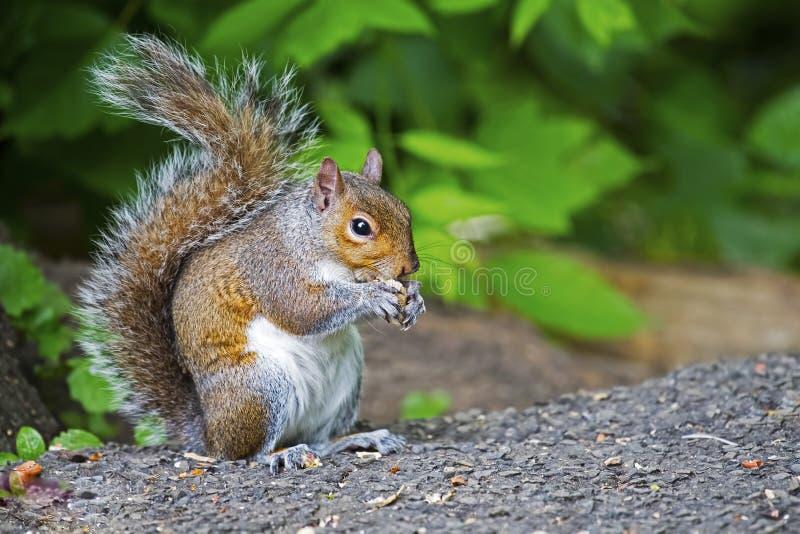 gray wschodnich wiewiórka zdjęcie stock