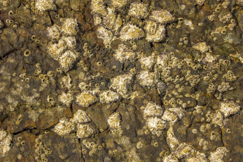 Gray yellow brown surface of a stone rock with deep relief, cracks and shells of sea acorns. natural texture. A gray yellow brown surface of a stone rock with royalty free stock photography