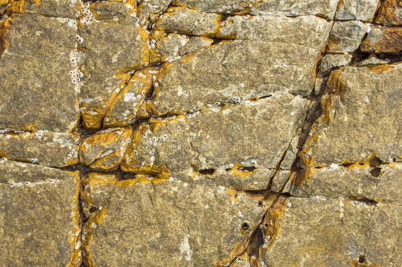 Gray yellow surface of stone rock with deep cracks and white shells sea acorns. natural texture. The gray yellow surface of stone rock with deep cracks and white stock images