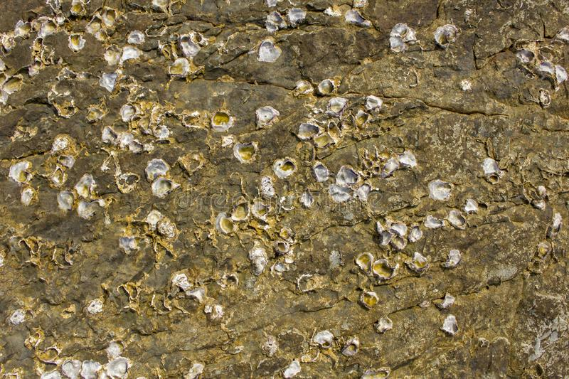 Gray yellow surface of a stone rock with deep relief, cracks and white shells of sea acorns. natural texture. A gray yellow surface of a stone rock with deep royalty free stock image