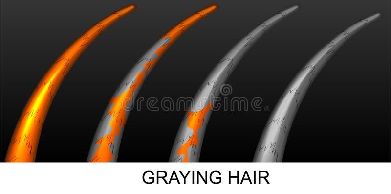 Graying gradual do cabelo ilustração do vetor