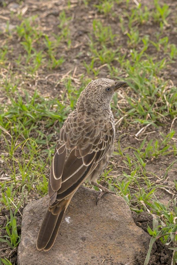 Grayish Flycatcher Bradornis microrhynchus royalty free stock photo