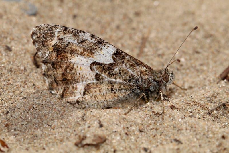 Graylingsvlinder stock foto