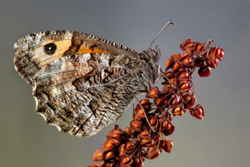 Graylingsvlinder stock afbeeldingen