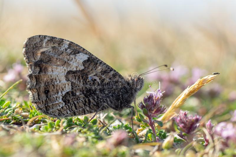 Graylingsvlinder Hipparchia die semele nectaring royalty-vrije stock fotografie