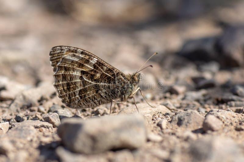 Graylingsvlinder Hipparchia semele op rotsachtige grond stock fotografie