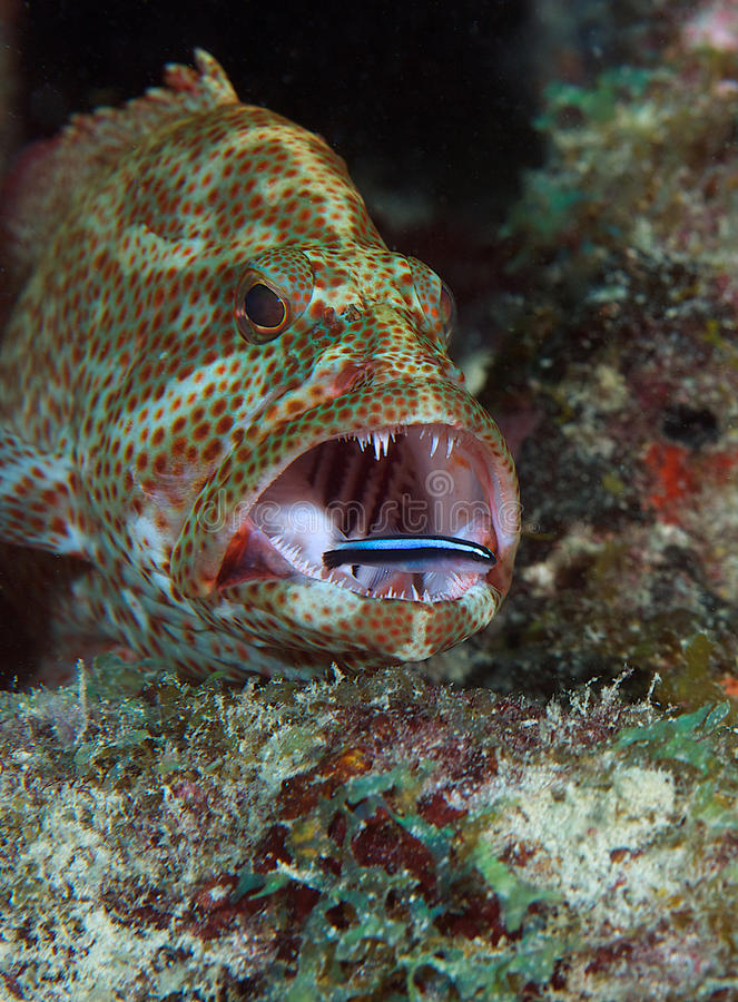 Free Graysby And Neon Goby Stock Photos - 26678783