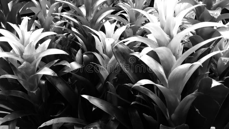 Grayscale bromeliad royalty free stock photos