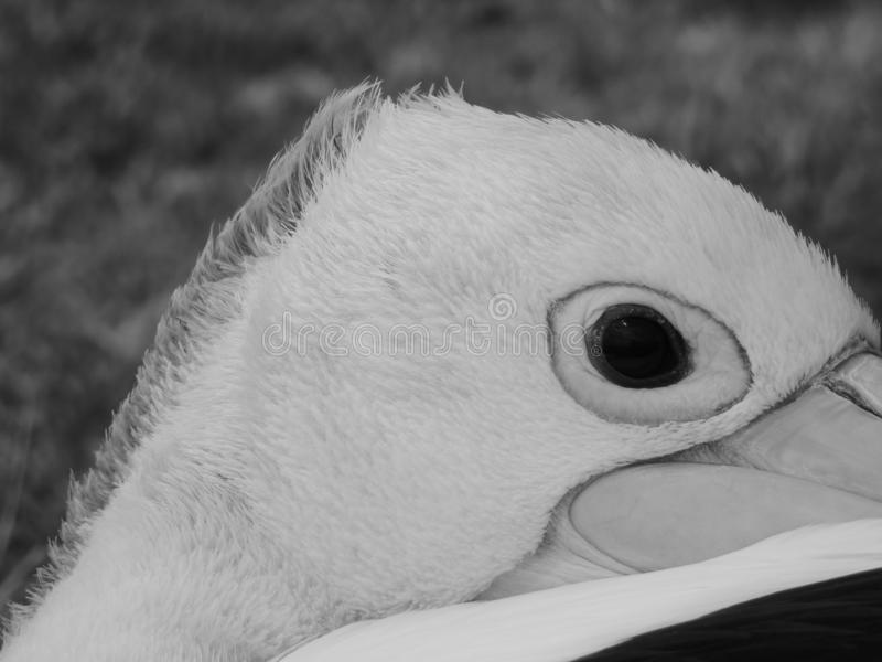 Grayscale closeup shot of the eye of a pelican on blurred background stock photography