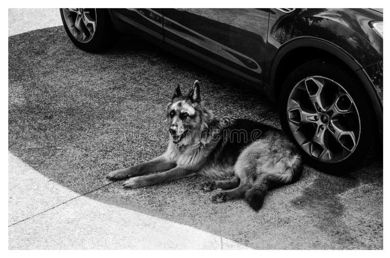 Grayscale German Shepherd Lying on Ground royalty free stock images