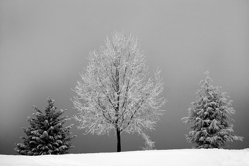 Grayscale Photo of Bareless Tree Between Tree With Snow stock photography