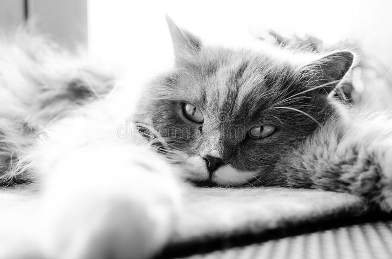 Grayscale Photo of Cat Lying on Bed royalty free stock image