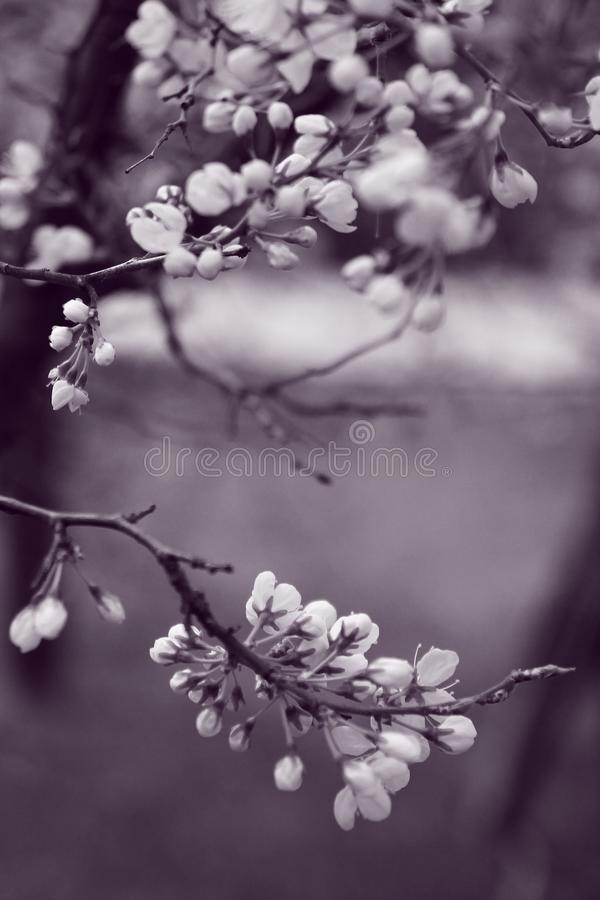 Grayscale Photo of Flowers in Tree stock image