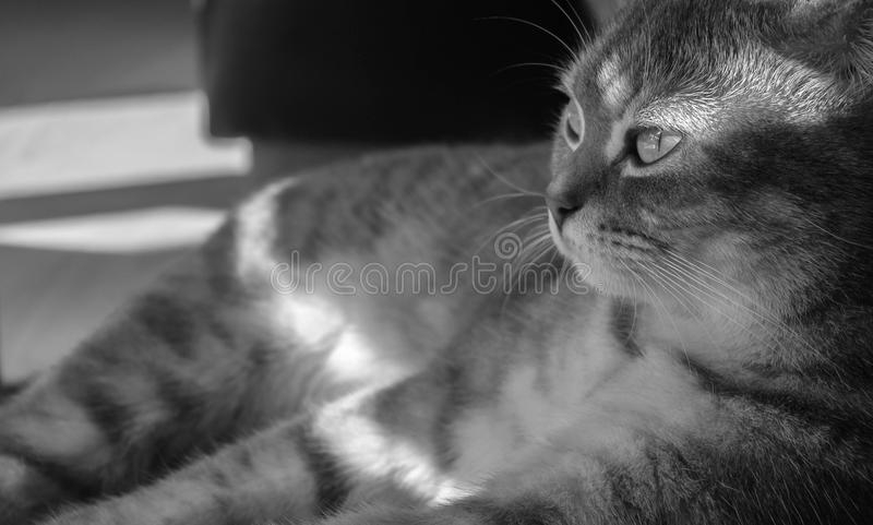 Grayscale Photo of Gray Cat royalty free stock photos