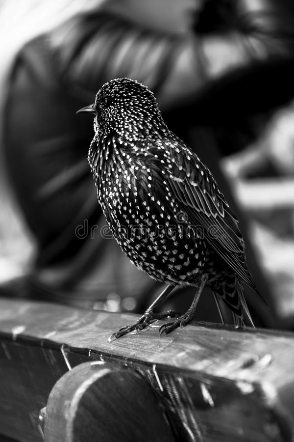 Grayscale Photo of Short Beaked Bird on Wooden Chair stock image
