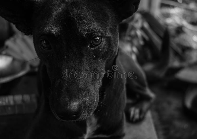 Grayscale Photo of Short Coated Dog stock photography