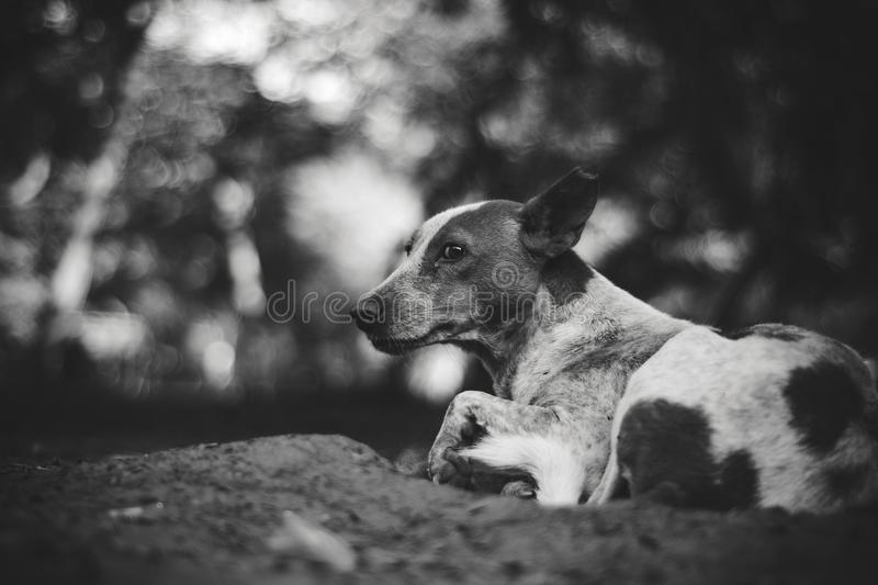 Grayscale Photography of Adult Short-coated Dog royalty free stock image