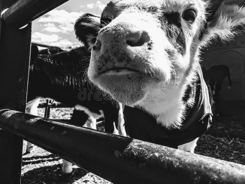 Grayscale Photography of Cattle royalty free stock photography