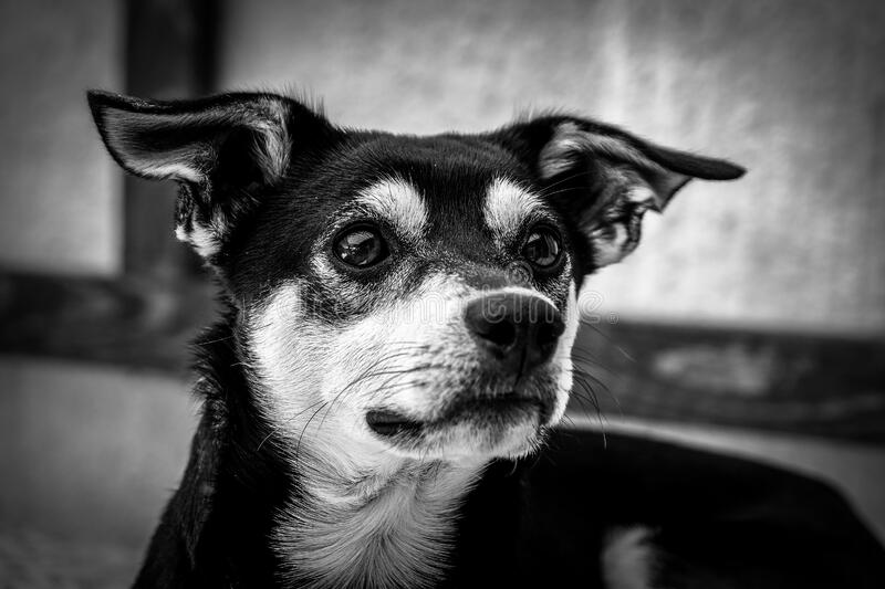 Grayscale Photography of Short Coated Dog royalty free stock photos