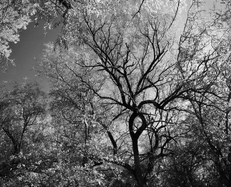Grayscale Photography Of Trees Free Public Domain Cc0 Image