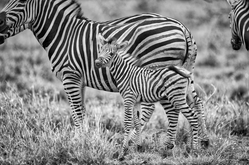 Grayscale Photography of Zebras stock image