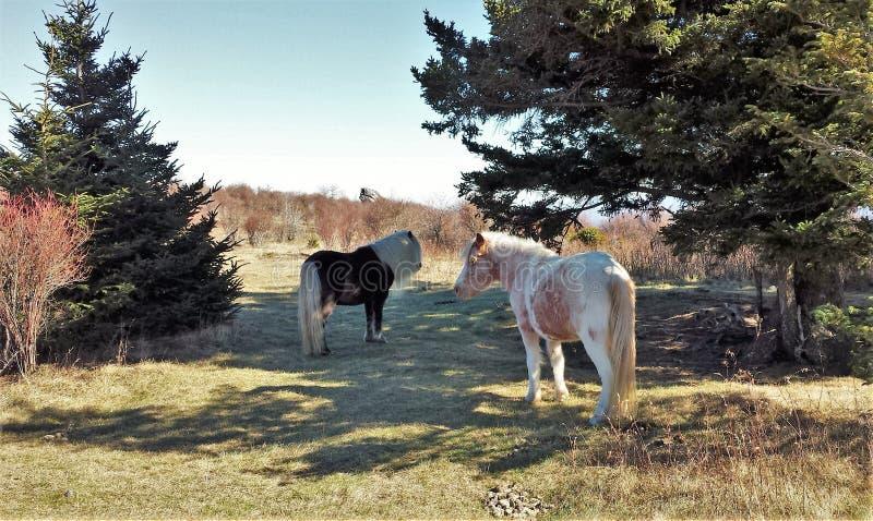 Grayson Highlands Wild Ponies stock afbeelding